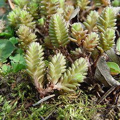 Plant form: Sedum sexangulare. ~ By Arthur Haines. ~ Copyright © 2020. ~ arthurhaines[at]wildblue.net