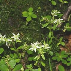 Plant form: Sedum ternatum. ~ By Steven Baskauf. ~ Copyright © 2021 CC-BY-NC-SA. ~  ~ Bioimages - www.cas.vanderbilt.edu/bioimages/frame.htm