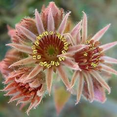Flowers: Sempervivum tectorum. ~ By Louis-M. Landry. ~ Copyright © 2020 Louis-M. Landry. ~ LM.Landry[at]videotron.ca  ~ CalPhotos - calphotos.berkeley.edu/flora/