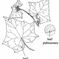 Leaves: Cucumis sativus. ~ By Southern Illinois University Press. ~ Copyright © 2019 Southern Illinois University Press. ~ Requests for image use not currently accepted by copyright holder ~ Mohlenbrock, Robert H. 1982. The Illustrated Flora of Illinois, Flowering Plants, basswoods to spurges, . Southern Illinois U. Press