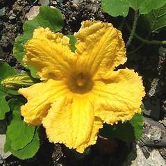 Flowers: Cucurbita maxima. ~ By David Fenwick. ~ Copyright © 2020 David Fenwick. ~ davidfenwicksnr[at]googlemail.com ~ www.aphotoflora.com