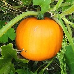 Stems: Cucurbita maxima. ~ By David Fenwick. ~ Copyright © 2020 David Fenwick. ~ davidfenwicksnr[at]googlemail.com ~ www.aphotoflora.com