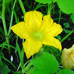Flowers: Cucurbita pepo. ~ By Arthur Haines. ~ Copyright © 2020. ~ arthurhaines[at]wildblue.net
