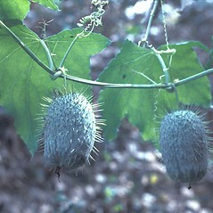 Fruits: Echinocystis lobata. ~ By Lawrence Newcomb. ~ Copyright © 2021 New England Wild Flower Society. ~ Image Request, images[at]newenglandwild.org