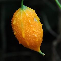 Fruits: Momordica charantia. ~ By William Ciesla. ~ Copyright © 2020 CC BY-NC 3.0. ~  ~ Bugwood - www.bugwood.org/