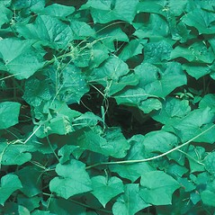 Plant form: Sicyos angulatus. ~ By John Lynch. ~ Copyright © 2021 New England Wild Flower Society. ~ Image Request, images[at]newenglandwild.org