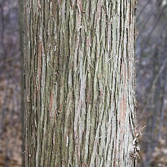 Bark: Chamaecyparis thyoides. ~ By Glenn Dreyer. ~ Copyright © 2020 Glenn Dreyer. ~ None needed