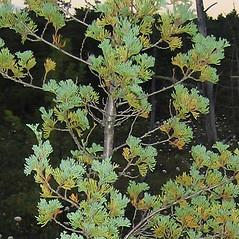 Plant form: Chamaecyparis thyoides. ~ By Alexey Zinovjev. ~ Copyright © 2021. ~ webmaster[at]salicicola.com ~ Salicicola - www.salicicola.com/
