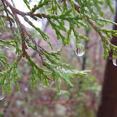 Leaves: Chamaecyparis thyoides. ~ By Jennifer Garrett. ~ Copyright © 2021 Jennifer Garrett. ~ gemmiferg[at]gmail.com