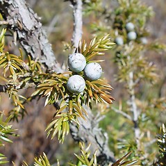 Fruits: Juniperus communis. ~ By Arthur Haines. ~ Copyright © 2020. ~ arthurhaines[at]wildblue.net