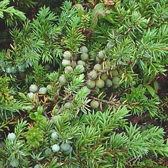 Fruits: Juniperus communis. ~ By Glen Mittelhauser. ~ Copyright © 2020 Glen Mittelhauser. ~ www.mainenaturalhistory.org