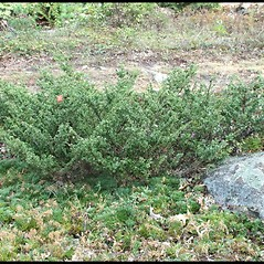 Plant form: Juniperus communis. ~ By Arieh Tal. ~ Copyright © 2021 Arieh Tal. ~ http://botphoto.com/ ~ Arieh Tal - botphoto.com