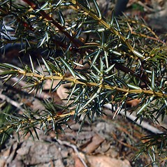 Leaves: Juniperus communis. ~ By Arthur Haines. ~ Copyright © 2021. ~ arthurhaines[at]wildblue.net