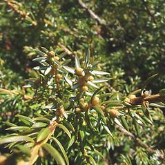 Winter buds: Juniperus communis. ~ By Glen Mittelhauser. ~ Copyright © 2019 Glen Mittelhauser. ~ www.mainenaturalhistory.org