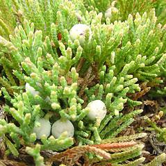 Fruits: Juniperus horizontalis. ~ By Glen Mittelhauser. ~ Copyright © 2019 Glen Mittelhauser. ~ www.mainenaturalhistory.org
