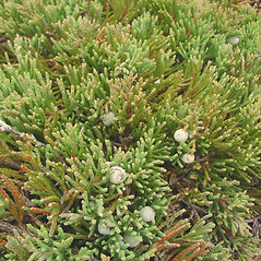Fruits: Juniperus horizontalis. ~ By Glen Mittelhauser. ~ Copyright © 2021 Glen Mittelhauser. ~ www.mainenaturalhistory.org