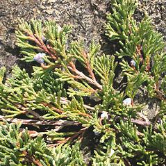 Fruits: Juniperus horizontalis. ~ By Marilee Lovit. ~ Copyright © 2020 Marilee Lovit. ~ lovitm[at]gmail.com