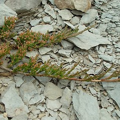 Plant form: Juniperus horizontalis. ~ By Arthur Haines. ~ Copyright © 2020. ~ arthurhaines[at]wildblue.net