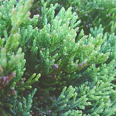 Leaves: Juniperus horizontalis. ~ By Glen Mittelhauser. ~ Copyright © 2020 Glen Mittelhauser. ~ www.mainenaturalhistory.org