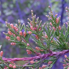Flowers: Juniperus virginiana. ~ By Arthur Haines. ~ Copyright © 2020. ~ arthurhaines[at]wildblue.net