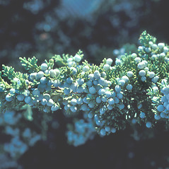 Fruits: Juniperus virginiana. ~ By John Lynch. ~ Copyright © 2020 New England Wild Flower Society. ~ Image Request, images[at]newenglandwild.org