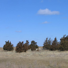 Plant form: Juniperus virginiana. ~ By Alexey Zinovjev. ~ Copyright © 2020. ~ webmaster[at]salicicola.com ~ Salicicola - www.salicicola.com/