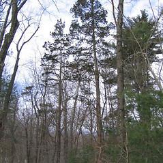 Plant form: Juniperus virginiana. ~ By Alexey Zinovjev. ~ Copyright © 2021. ~ webmaster[at]salicicola.com ~ Salicicola - www.salicicola.com/