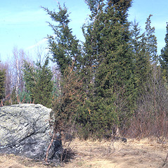 Plant form: Juniperus virginiana. ~ By Frank Bramley. ~ Copyright © 2020 New England Wild Flower Society. ~ Image Request, images[at]newenglandwild.org