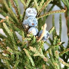 Winter buds: Juniperus virginiana. ~ By Arieh Tal. ~ Copyright © 2020 Arieh Tal. ~ www.nttlphoto.com ~ Arieh Tal - www.nttlphoto.com