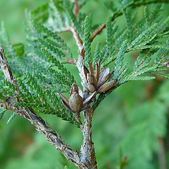Fruits: Thuja occidentalis. ~ By Arthur Haines. ~ Copyright © 2020. ~ arthurhaines[at]wildblue.net
