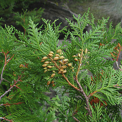 Fruits: Thuja occidentalis. ~ By Donald Cameron. ~ Copyright © 2020 Donald Cameron. ~ No permission needed for non-commercial uses, with proper credit