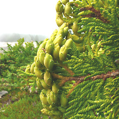 Fruits: Thuja occidentalis. ~ By Donna Kausen. ~ Copyright © 2020 Donna Kausen. ~ 33 Bears Den, Addison, ME 04606