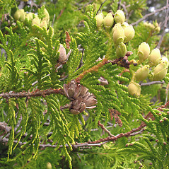 Fruits: Thuja occidentalis. ~ By Marilee Lovit. ~ Copyright © 2020 Marilee Lovit. ~ lovitm[at]gmail.com
