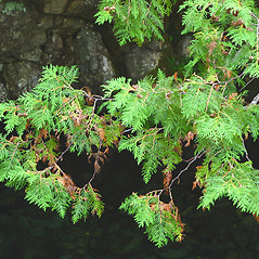 Plant form: Thuja occidentalis. ~ By Donna Kausen. ~ Copyright © 2020 Donna Kausen. ~ 33 Bears Den, Addison, ME 04606