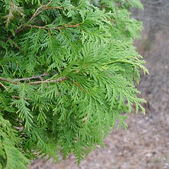 Leaves: Thuja occidentalis. ~ By Arthur Haines. ~ Copyright © 2020. ~ arthurhaines[at]wildblue.net