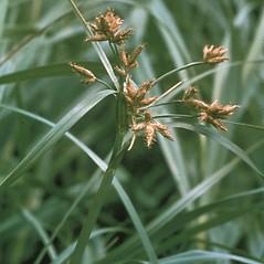 Inflorescences: Bolboschoenus fluviatilis. ~ By Jonathan Coddington. ~ Copyright © 2020 New England Wild Flower Society. ~ Image Request, images[at]newenglandwild.org