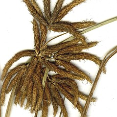 Inflorescences: Bolboschoenus glaucus. ~ By CONN Herbarium. ~ Copyright © 2020 CONN Herbarium. ~ Requests for image use not currently accepted by copyright holder ~ U. of Connecticut Herbarium - bgbaseserver.eeb.uconn.edu/