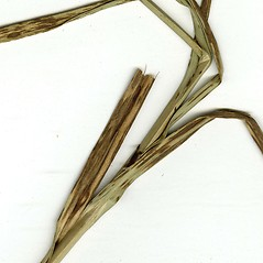 Stems and sheaths: Bolboschoenus glaucus. ~ By CONN Herbarium. ~ Copyright © 2021 CONN Herbarium. ~ Requests for image use not currently accepted by copyright holder ~ U. of Connecticut Herbarium - bgbaseserver.eeb.uconn.edu/