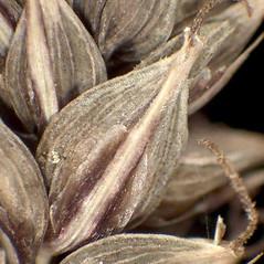 Perigynia: Carex acutiformis. ~ By Andrea Moro. ~ Copyright © 2021 CC BY-NC-SA 3.0. ~  ~ www.luirig.altervista.org