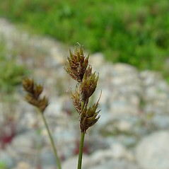 Inflorescence: Carex adusta. ~ By Arthur Haines. ~ Copyright © 2020. ~ arthurhaines[at]wildblue.net
