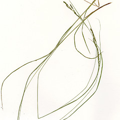 Leaves: Carex aestivalis. ~ By CONN Herbarium. ~ Copyright © 2019 CONN Herbarium. ~ Requests for image use not currently accepted by copyright holder ~ U. of Connecticut Herbarium - bgbaseserver.eeb.uconn.edu/