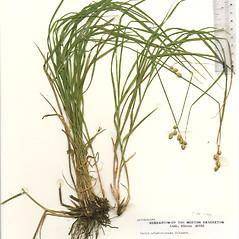 Plant form: Carex albolutescens. ~ By The Herbarium of The Morton Arboretum (MOR). ~ Copyright © 2021 The Morton Arboretum. ~ Ed Hedborn, The Morton Arboretum ~ The Herbarium of The Morton Arboretum