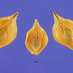 Perigynia: Carex albolutescens. ~ By Steve Hurst. ~  Public Domain. ~  ~ USDA-NRCS Plants Database - plants.usda.gov/java/