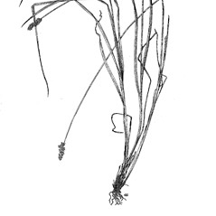 Plant form: Carex alopecoidea. ~ By Harry Creutzburg. ~ Copyright © 2020 The New York Botanical Garden. ~ http://www.copyright.com ~ Kenneth K. Mackenzie. North American Cariceae, Vols. 1 & 2. Copyright 1940 The New York Botanical Garden