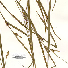 Leaves: Carex amphibola. ~ By CONN Herbarium. ~ Copyright © 2021 CONN Herbarium. ~ Requests for image use not currently accepted by copyright holder ~ U. of Connecticut Herbarium - bgbaseserver.eeb.uconn.edu/