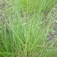 Leaves: Carex appalachica. ~ By Louis-M. Landry. ~ Copyright © 2020 Louis-M. Landry. ~ LM.Landry[at]videotron.ca  ~ CalPhotos - calphotos.berkeley.edu/flora/