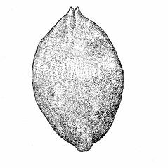 Perigynia: Carex aquatilis. ~ By Elizabeth Farnsworth. ~ Copyright © 2021 New England Wild Flower Society. ~ Image Request, images[at]newenglandwild.org