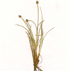 Plant form: Carex arctogena. ~ By CONN Herbarium. ~ Copyright © 2020 CONN Herbarium. ~ Requests for image use not currently accepted by copyright holder ~ U. of Connecticut Herbarium - bgbaseserver.eeb.uconn.edu/