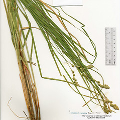 Plant form: Carex argyrantha. ~ By The Herbarium of The Morton Arboretum (MOR). ~ Copyright © 2020 The Morton Arboretum. ~ Ed Hedborn, The Morton Arboretum ~ The Herbarium of The Morton Arboretum
