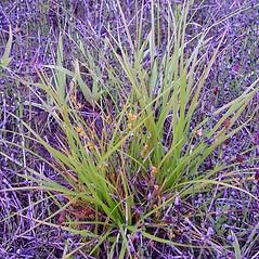 Plant form: Carex aurea. ~ By Arthur Haines. ~ Copyright © 2020. ~ arthurhaines[at]wildblue.net